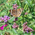 Common Buckeye Butterfly by Michele Markley