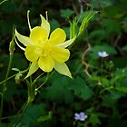 Golden Columbine on Meadow Trail ~ Mt. Lemmon, Catalina Mountains by Lucinda Walter