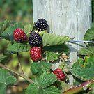 Blackberry Post by Gene Ritchhart