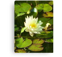 Yellow Water Lilly Canvas Print