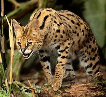 Serval by Norfolkimages