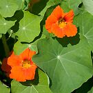Nasturium Flowers in Summertime by Stacey Lynn Payne