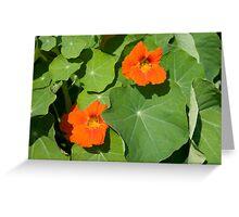 Nasturium Flowers in Summertime Greeting Card