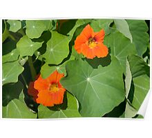 Nasturium Flowers in Summertime Poster