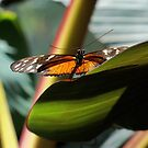 Tiger Longwing Butterfly by Michele Markley
