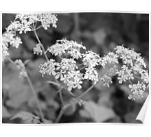 Cow parsley…probably! Poster