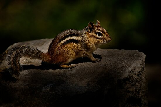 Chipmunk - Ottawa, Ontario by Michael Cummings