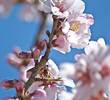 Almond Bloom by garts