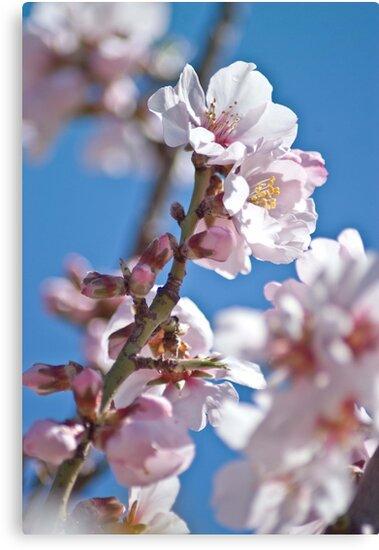 Almond Bloom by garts
