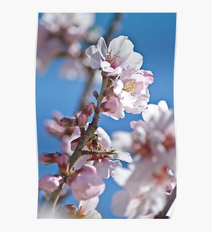 Almond Bloom Poster