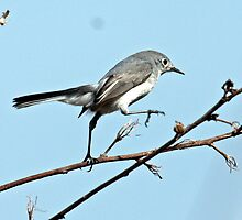 Blue Grey Gnatcatcher Female by bobgotro