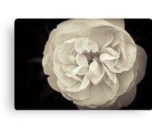 Blossomed Rose Canvas Print