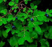 MOUNTAIN HUCKLE BERRIES IN THE ALPINE LAKES WILDERNESS AREA by Michael Beers