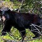 Black Bear by Zeanana