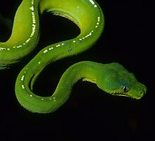 Green Python by naturalnomad