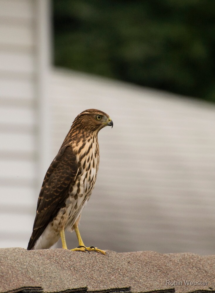 Rooftop Perch by Robin Webster