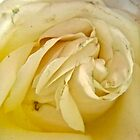 Dying white rose - all products by Shulie1