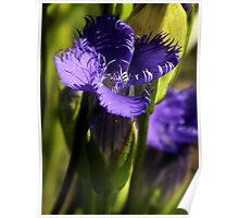 Fringed Purple Gentian Poster