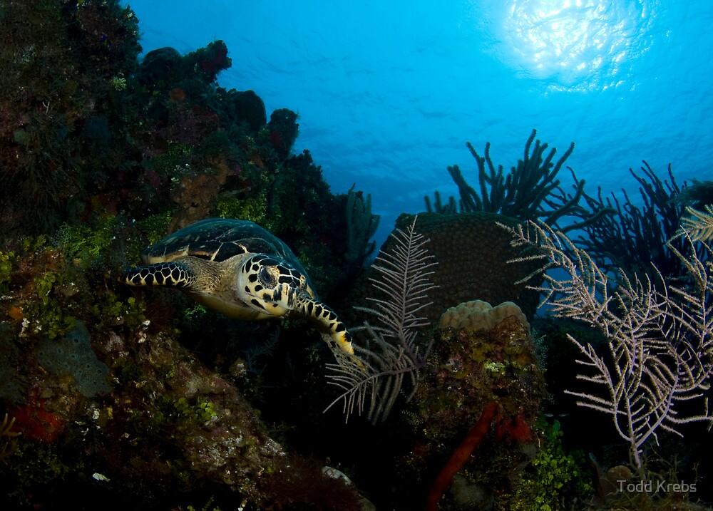 Hawksbill Turtle and Reef by Todd Krebs