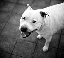 The Staffy Smile by ruthlessphotos