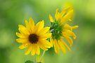 Sunflower by Vicki Pelham