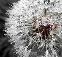 Dandelions by wyvernsrose