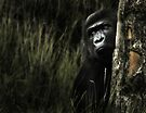 Lowland Gorilla by KatsEyePhoto