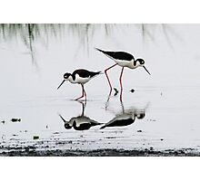 Black necked Stilts with reflection(My reflection is better than yours!) Photographic Print