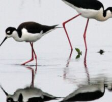 Black necked Stilts with reflection(My reflection is better than yours!) Sticker