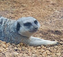 Merely a Meerkat by Michele Markley