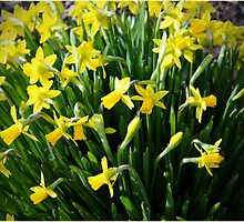 jonquils by Deb Gibbons