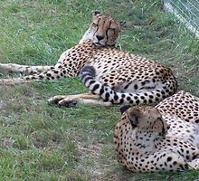Cheetah by Michele Markley