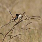 Unwanted Advances - Red Backed Wrens During Mating Season by Gryphonn