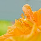 Hibiscus by Thomas Tolkien
