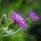 Thistle Dance by Vicki Pelham