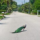 why did the peacock cross the road? by Mark de Jong