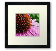 Pink Coneflower (Echinacea Purpurea Magnus) Framed Print