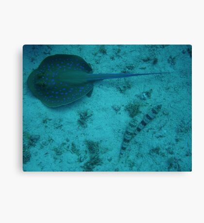 Blue Spotted Ray Canvas Print