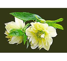 Beautiful spring white peony flowers and green leaves floral photo art. Photographic Print