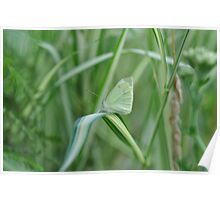 Camouflage Cabbage Butterfly Poster