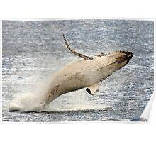 humpback whale calf. bicheno, tasmania Poster