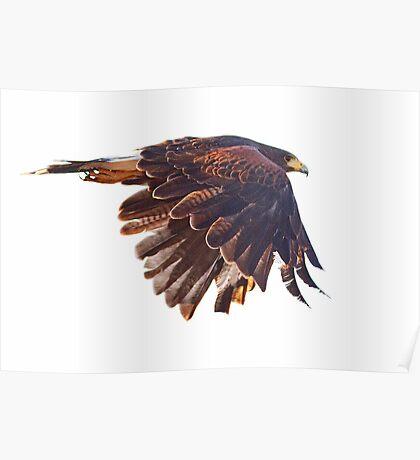 082310 Harris Hawk Poster