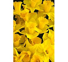 A Bunch of Daffodils Photographic Print