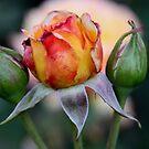 Glowing Peace Rose Buds by Robert Armendariz