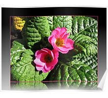 Sunkissed Pink Primroses in Reflection Frame Poster