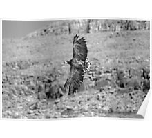 White-tailed Sea Eagle 'Sika' Poster