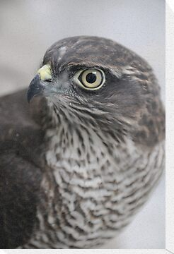 Sparrowhawk 'Buffy' by Simone Kelly
