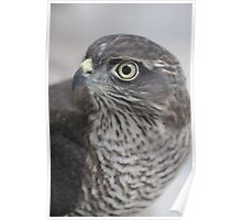 Sparrowhawk 'Buffy' Poster