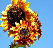 Triple Sunflower  by DoulaFaire