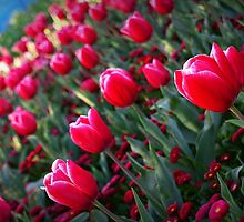 Rising Tulips by aureecejustin